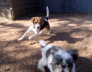 Alfie has his turbo speed on and Rudi is LOVIN it on the dog ranch