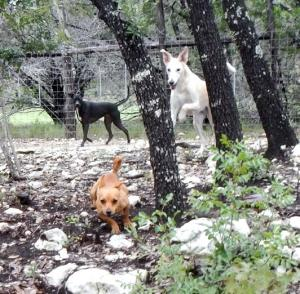 Dogs playing in the woods at A To Z dog ranch.
